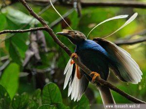 Burung Bidadari Halmahera