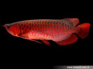 Ikan Arwana Merah