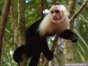 Monyet Chapuchin