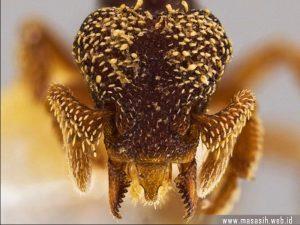 Semut Eurhopalothrix Zipacna