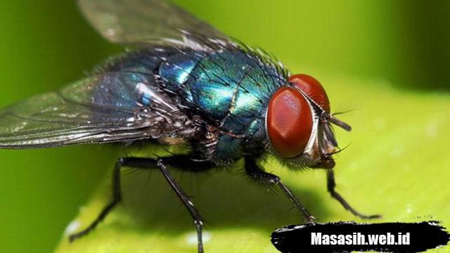 Fakta Seranga Lalat