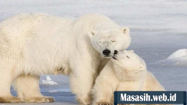 Fakta Unik Beruang Kutub