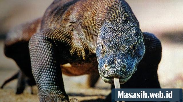 Keunikan Hewan Komodo